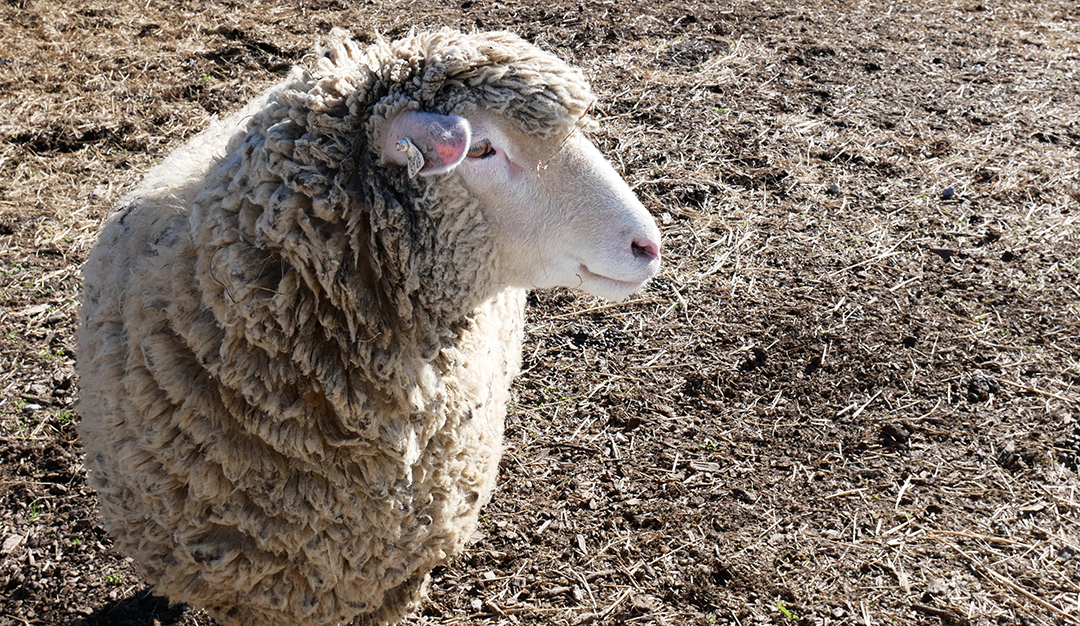 Shaker Village Kentucky - Farm Sheep | Big Family Minimalist